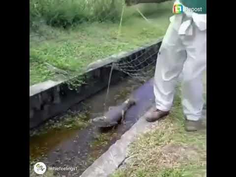 Crocodile attack man