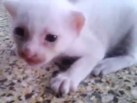 Jungli Billi of Don - Junglee Billi - Meow Meow Cat - Kittens