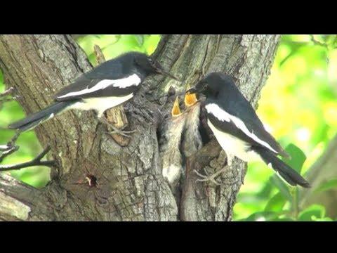 Mengintip Burung Kacer Sedang Meloloh Anaknya Dalam Sarang  Di Alam Liar