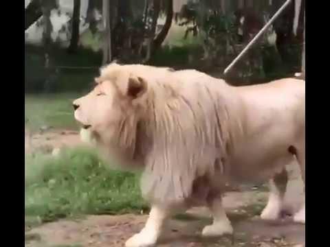 Lion Singing Uuuhuu  Laughter Challenge