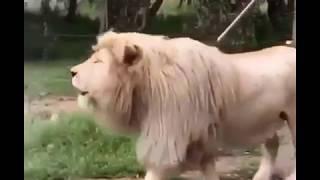 Lion Singing Uuuhuu... | Laughter Challenge|