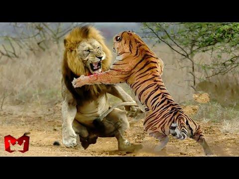 Download Singa Melawan Harimau Di Alam Liar, Siapa Yang Menang ? Hewan-Hewan Yang Bisa Mengalahkan Singa