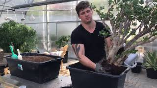 Пересаживаем денежное дерево (Crassula ovata)