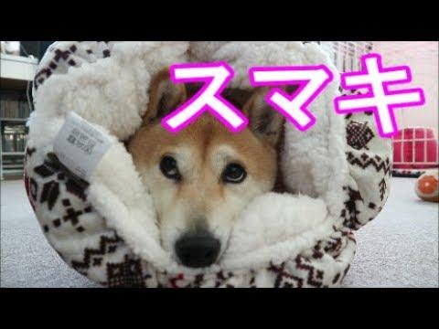 柴犬小春 愛犬を簀巻きにしてみた。 wrapping