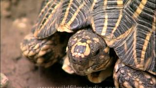 Indian Tortoise Eating Green Beans