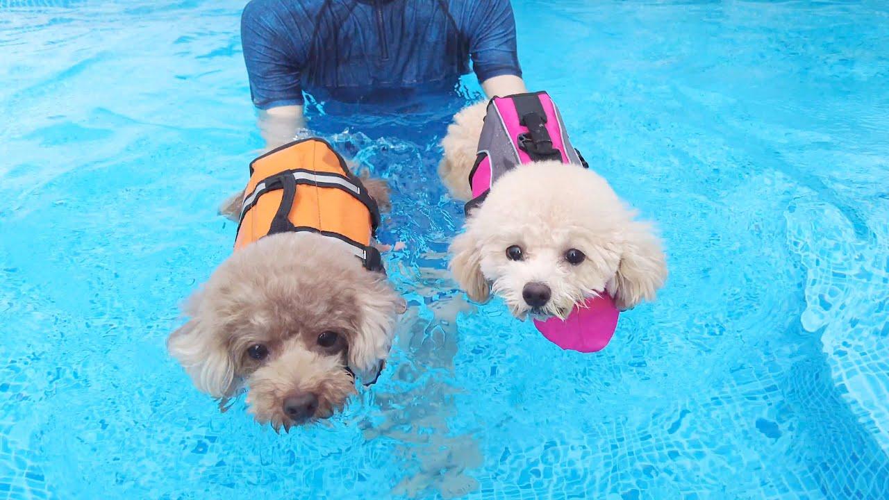 パパの誕生日祝いに愛犬と温水プールを貸し切りました!【トイプードル】