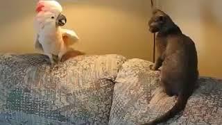 Уматовые приколы про котов  Попугай нападает на кота