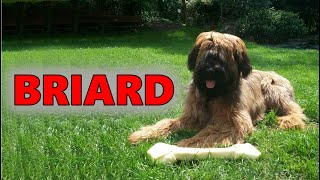 Briard (Herding Group)  Detox Your Dog