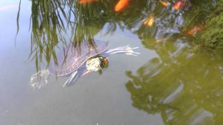 Turtle in backyard pond