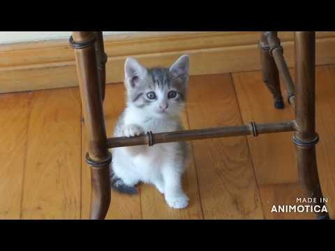 Pocket Beagle pup Teddy tuned up by tiny kitten 'Tagger'.