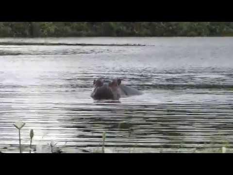 Saltwater Hippos, Orango Island, Guinea-Bissau