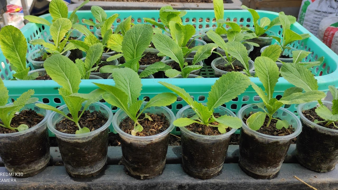 Cách gieo hạt cải Bẹ xanh trong ly nhựa , cây con trồng là lên không bị héo   Khoa Hien 396