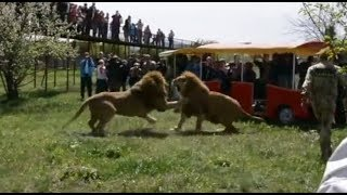 Download Video 【獅子】動物園里兩隻大獅子的激烈打鬥【Lion fight】Two big lions fighting in the zoo MP3 3GP MP4
