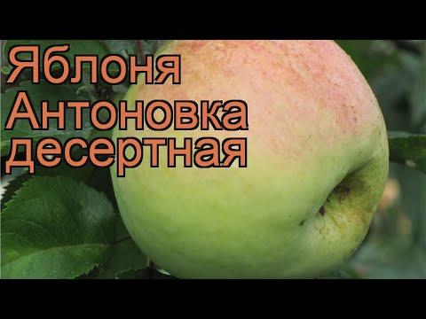 Яблоня обыкновенная Антоновка десертная 🌿 обзор: как сажать, саженцы яблони Антоновка десертная
