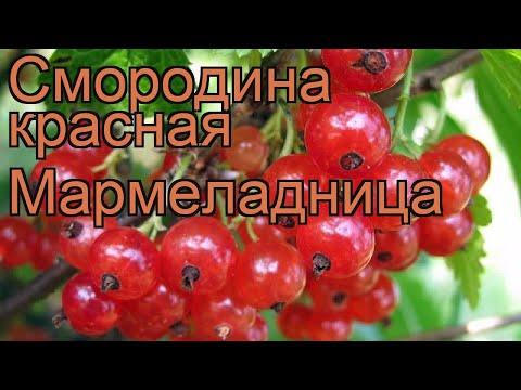 Смородина красная Мармеладница (ribes rubrum) 🌿 обзор: как сажать, саженцы смородины Мармеладница
