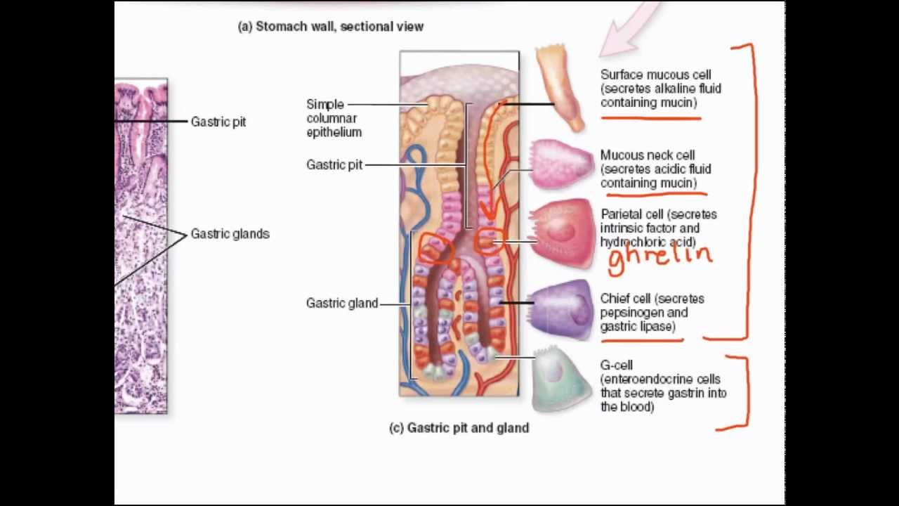 Gastric Secretions Youtube