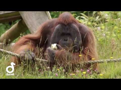 Keeper Talk at Durrell - Sumatran Orangutans