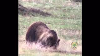 Gambar cover Grizzly bear digging a gopher food cache