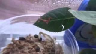 コノハムシ1齢