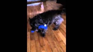 Cairn Terrier Playing With Her Favorite Toy Kong Wubba
