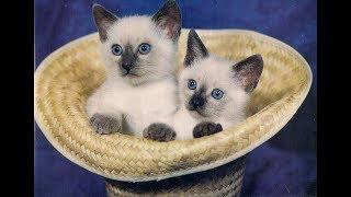Лучшие приколы про сиамских кошек и котят