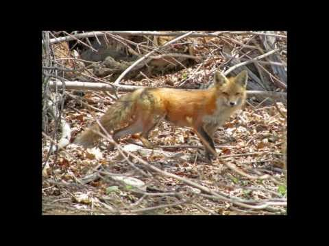 Mother Fox Feeding Her Five Cubs in Danbury, Ct. April 26, 2013 11:30am