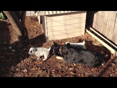 Australian Cattle Dogs : HallsHeelers Puppy Update #19 - 23rd May 2013