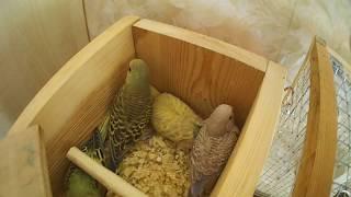 Размножение волнистых попугаев ч.7