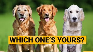 3 Types of Golden Retrievers and How to Identify Them?