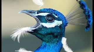 Павлин укусил голубя. Смотреть до конца!(Турция. Город Алания. Голуби пытаются есть вместе с павлином, но павлину это не нравится. Жанр: Видео прикол..., 2015-08-20T10:32:03.000Z)