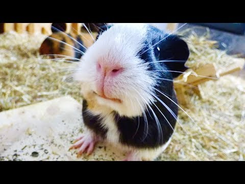 Guinea Pigs Explore Their New Cage Set Up | Guinea Pig Sounds | ASMR