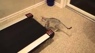 Шикарный Кот и беговая дорожка