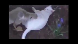 Cat vs annoying goose/Кот и надоедливый гусь