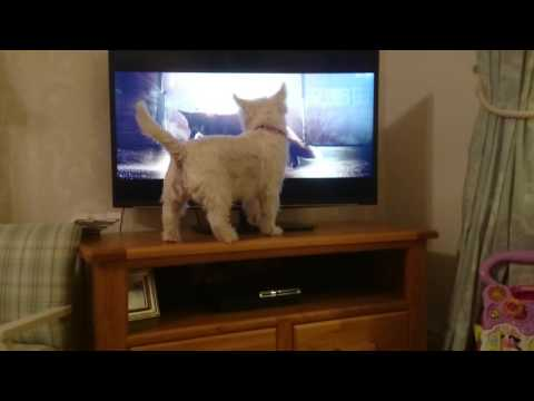 Mildred dog watching the John Lewis advert! Toddler finds it hilarious.