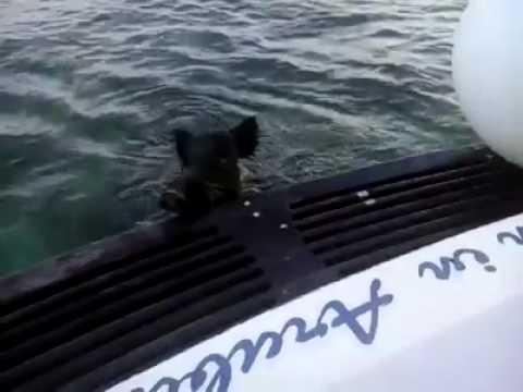 Wild boar at sea