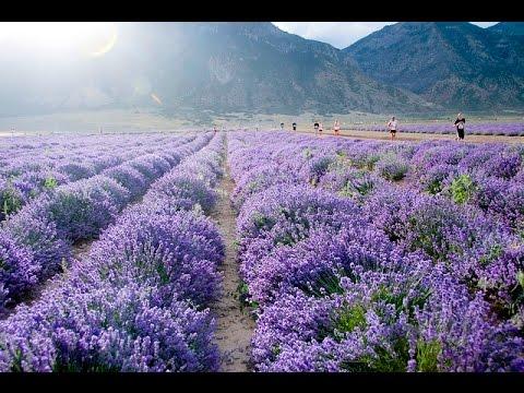 Young Living Mona Utah Lavender Farm Youtube