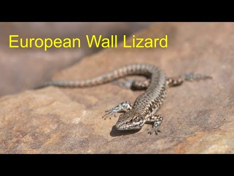 Wall Lizard (Podarcis Muralis) - European Herptile