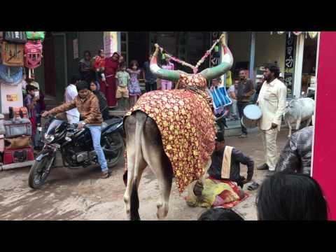 indian ox dancing