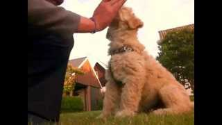 9 Week Labradoodle Puppy Dog Training And Tricks