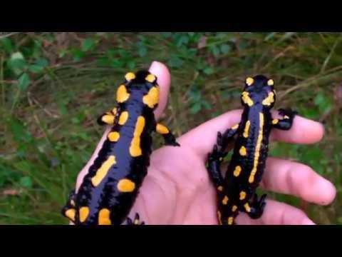 Огненная саламандра: где обитает, как выглядит, виды