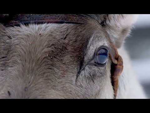 Top 5 Reindeer Moments | BBC Earth