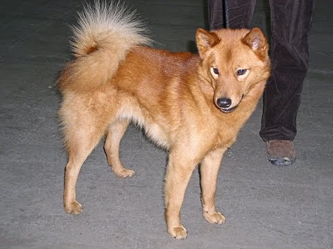 Finnish Spitz / Dog Breed