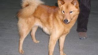 A Finnish Spitz is a breed of dog originating in Finland. The breed...