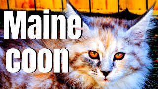 Maine Coon Cats  21 Surprising Facts About Maine Coon Cats!