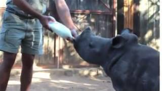 A Global Star: Gertjie The Orphaned Baby Rhino