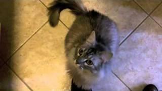 Toilet Training a Cat