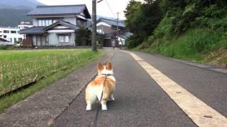 ジジババが帰ってきて嬉しいコーギー花さん(Hana-san) thumbnail