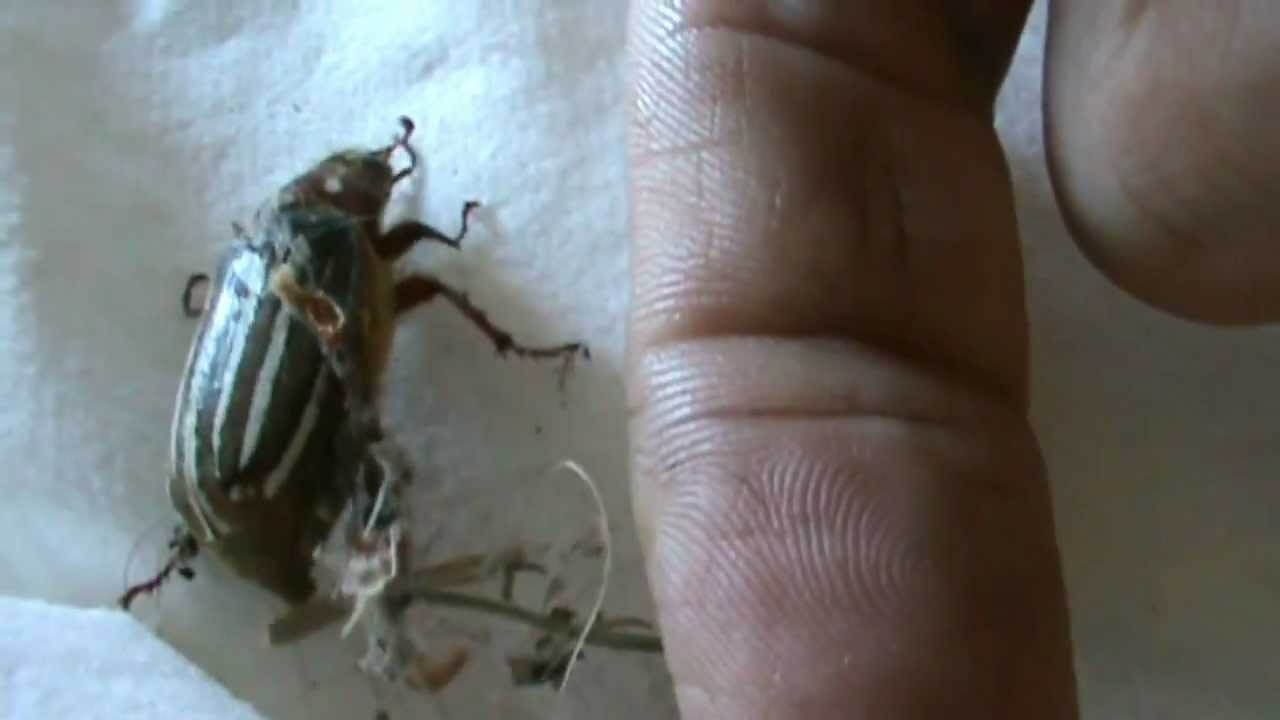 The Hissing 10 Lined June Beetle