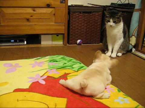 Thumbnail for Cat Video French Bulldog Puppy Unsure About Cat