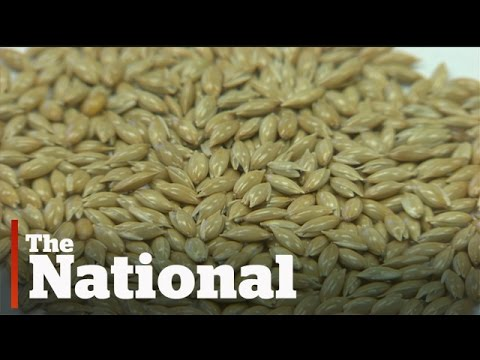 Canary seed no longer just for the birds
